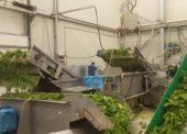 Vrcholí sezona zpracování špenátu, v Agrimexu jej ročně zpracují tři tisíce tun