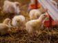 Sklizeno a Rohlik.cz investují do farmy pro etický chov kuřat